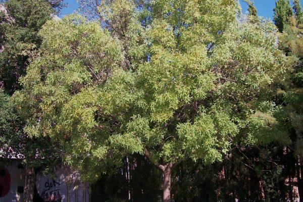 EL FREIXE ES DESPULLA (Fraxinus sp.)