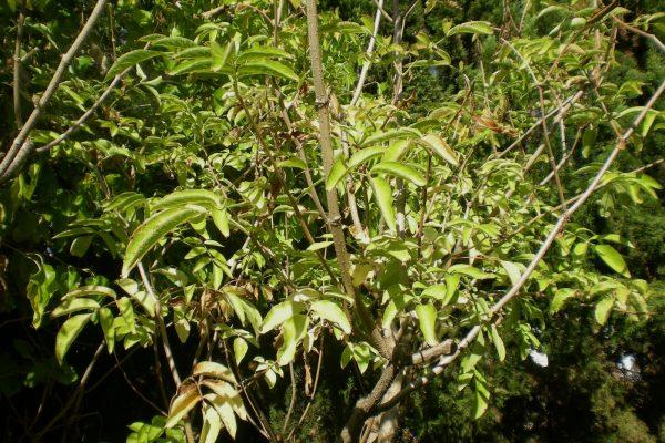 EL SAÜC ES DESPULLA (Sambucus nigra)