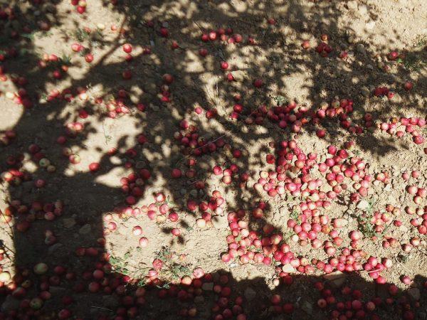 D'AQUELLES FLORS… (melmelada de poma)